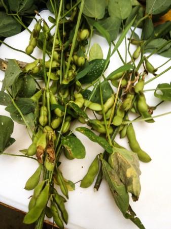 固定種の枝豆