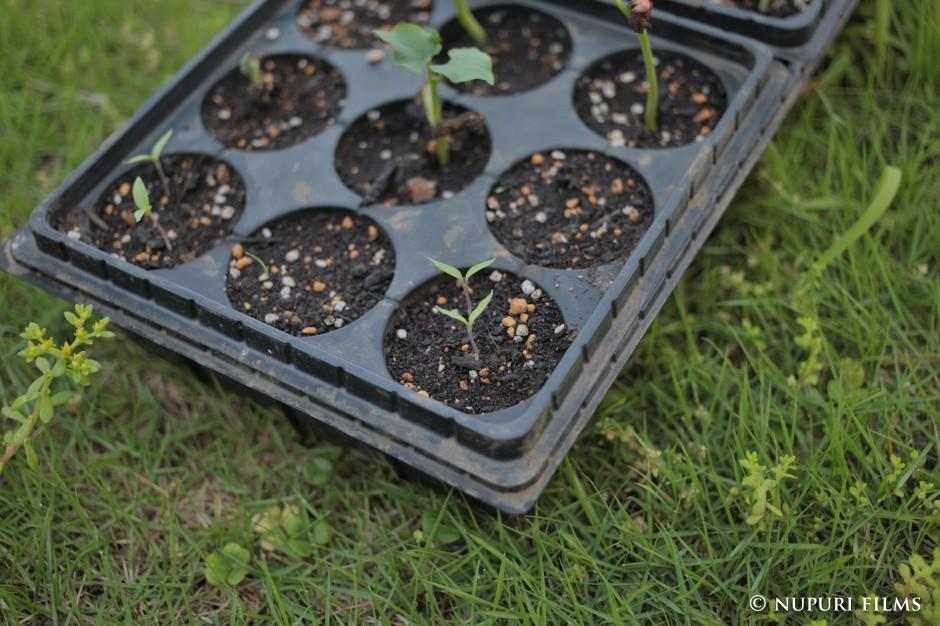 固定種トマト苗